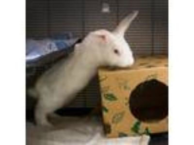 Adopt Lonnie (mcas) a Other/Unknown / Mixed (short coat) rabbit in Troutdale