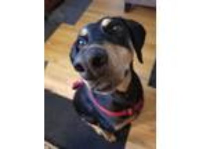 Adopt Ruby a Black - with Tan, Yellow or Fawn Doberman Pinscher / Mixed dog in