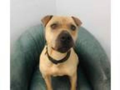 Adopt Rocky a Tan/Yellow/Fawn Shar Pei / Mixed dog in Ashtabula, OH (21218310)