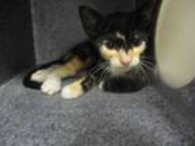 Adopt Peachtree a All Black Domestic Shorthair / Domestic Shorthair / Mixed cat
