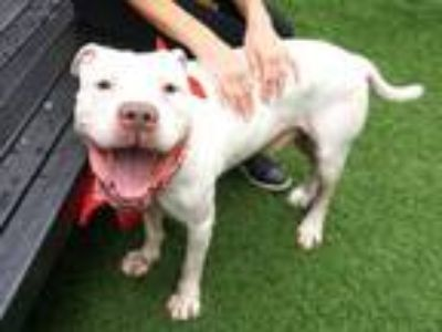 Adopt Cyrus the Magnificent a Pit Bull Terrier
