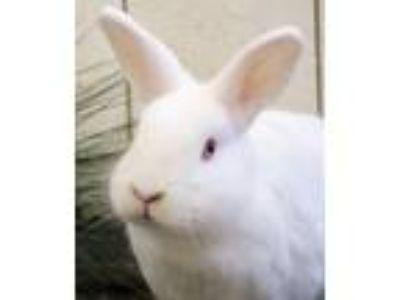 Adopt Chester a White New Zealand / Mixed (short coat) rabbit in Encinitas