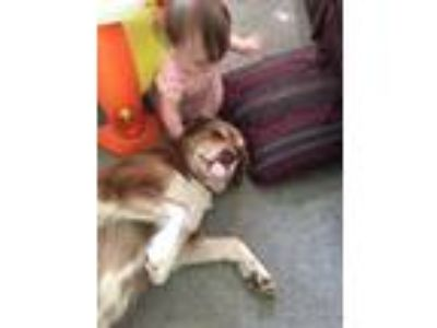 Adopt Digger a Brown/Chocolate - with White Labrador Retriever / Alaskan