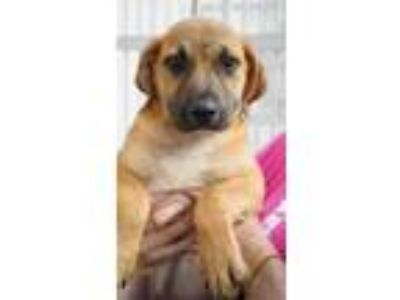 Adopt Watson a Tan/Yellow/Fawn Labrador Retriever / Boxer / Mixed dog in