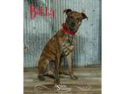 Adopt Bobby a Hound, Pit Bull Terrier