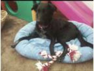 Adopt Bailey a Black - with White Jack Russell Terrier / Labrador Retriever /