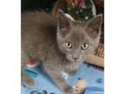 Adopt Axl a Gray or Blue American Shorthair (short coat) cat in Newburgh