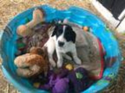 Adopt Tinker a White - with Black Springer Spaniel / Blue Heeler / Mixed dog in