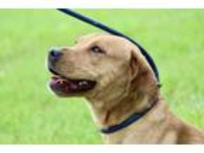 Adopt SAVANNAH a Terrier, Labrador Retriever