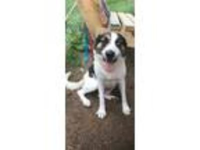 Adopt Lily a White - with Brown or Chocolate Border Collie / Mixed dog in South