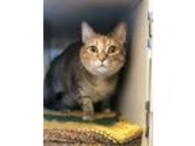 Adopt Jellybean a Domestic Short Hair