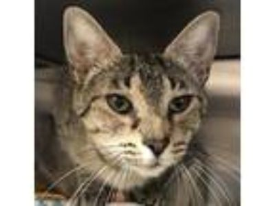 Adopt Currant a Brown or Chocolate Domestic Shorthair / Domestic Shorthair /