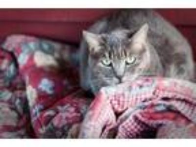 Adopt Pam Pam - House Spirit a Gray or Blue Domestic Shorthair / Mixed cat in