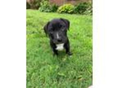 Adopt Arya (GAPR/Fostered in TN) a Black - with White Labrador Retriever / Mixed