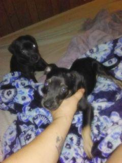 Puppies Lab/pitbull an Lab/chaweenee