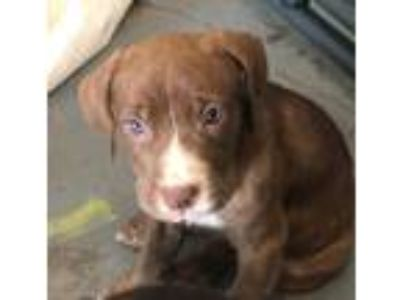 Adopt Hermosa a Brown/Chocolate Labrador Retriever / American Pit Bull Terrier