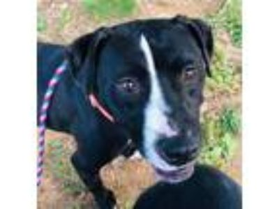 Adopt BENJI a Labrador Retriever, Mixed Breed