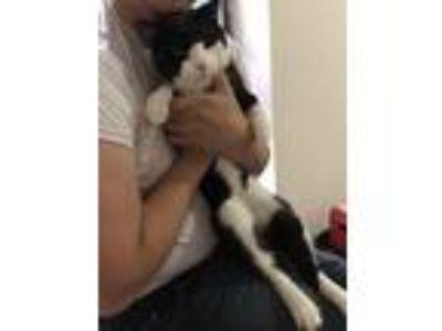 Adopt Memoo a Black & White or Tuxedo Manx / Mixed cat in Bronx, NY (22511372)