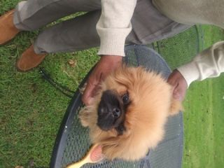 Pekingese PUPPY FOR SALE ADN-45127 - Pekingese 2 Male Puppies For Sale