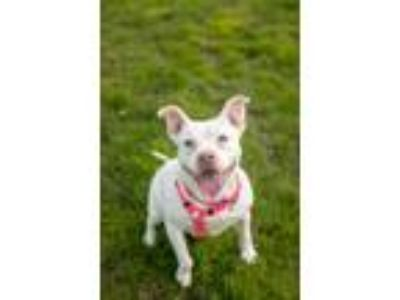 Adopt Magnolia a American Staffordshire Terrier / Boxer / Mixed dog in SHAKOPEE
