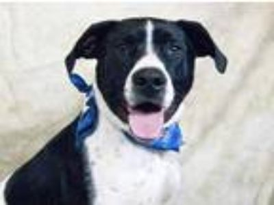 Adopt Toby (Waived Fee) a Black American Pit Bull Terrier / Mixed dog in