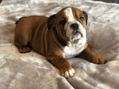 English Bulldog PUPPY FOR SALE ADN-113984 - English Bulldog Puppy