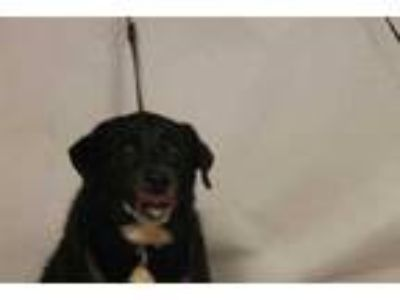 Adopt Charlie a Black Labrador Retriever / Border Collie / Mixed dog in Daytona