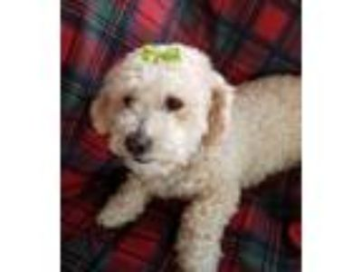 Adopt DOLLY a Poodle