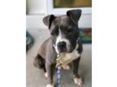 Adopt Irie a Gray/Silver/Salt & Pepper - with White American Pit Bull Terrier /