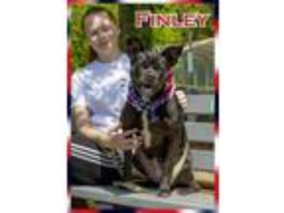 Adopt Finley a Boxer / Labrador Retriever / Mixed dog in Oak Ridge