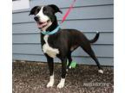 Adopt Callie Ann a Border Collie