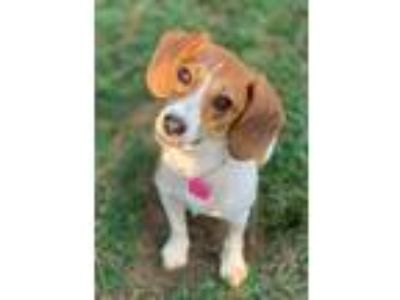 Adopt Patty a Beagle