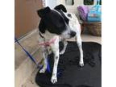 Adopt Nelly a Rat Terrier