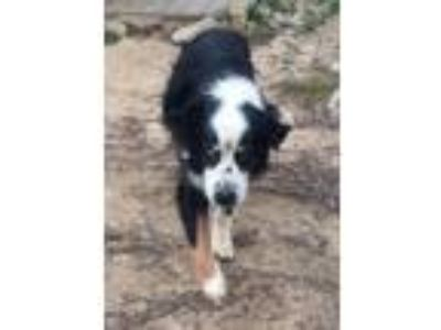 Adopt Rascal a Border Collie
