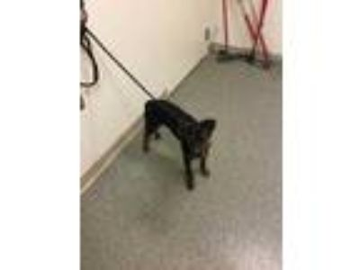 Adopt Katie a Black Rottweiler / Shepherd (Unknown Type) / Mixed dog in
