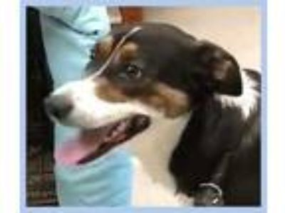 Adopt Kyle a Tricolor (Tan/Brown & Black & White) Australian Shepherd / Border