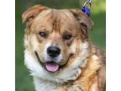 Adopt Sundae a Chow Chow / Rottweiler / Mixed dog in Silverdale, WA (25535839)