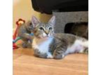 Adopt Kirsten a Domestic Short Hair