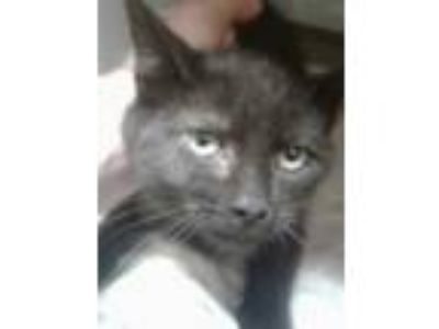 Adopt Yoshie a All Black Domestic Shorthair / Domestic Shorthair / Mixed cat in