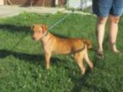 Adopt Paige a American Staffordshire Terrier