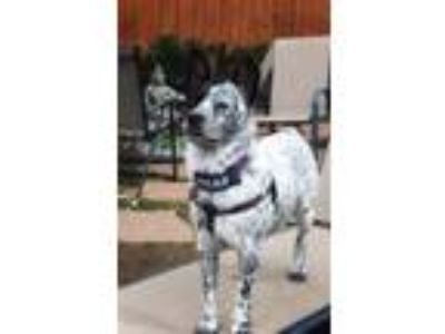 Adopt Shanti - hearing impaired a Australian Cattle Dog / Blue Heeler