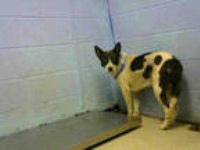 Adopt IVY a White - with Brown or Chocolate Border Collie / Mixed dog in