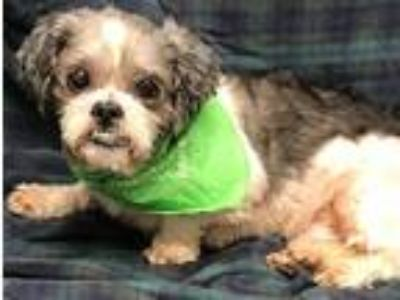 Adopt Colby coming 5-31 a White - with Tan, Yellow or Fawn Shih Tzu / Mixed dog