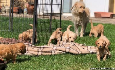 Outstanding F1b Miniature Labradoodles