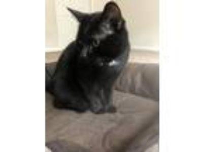 Adopt Onyx a Black & White or Tuxedo Domestic Shorthair cat in Stockbridge