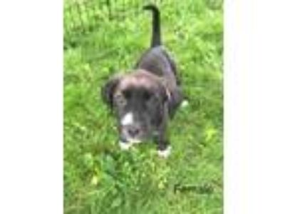 Adopt Elsa a Black - with White Labrador Retriever dog in Norristown