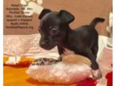Adopt Oreo! Adorable tiny puppy a Black - with White Miniature Pinscher /