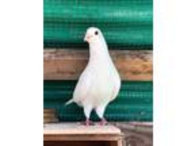 Adopt Archimedes a White Pigeon bird in San Francisco, CA (24500277)