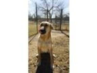 Adopt Tubagou a Tan/Yellow/Fawn - with Black Anatolian Shepherd / Mixed dog in