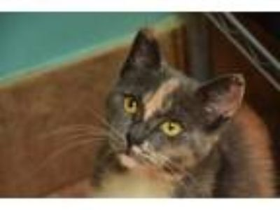 Adopt Ginger Rose a Calico or Dilute Calico Calico / Mixed (short coat) cat in